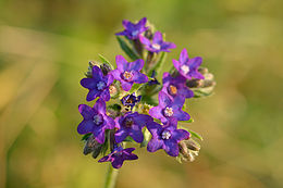Vaistinis godas (Anchusa officinalis)