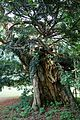 Ancient yew tree Church of St Peter and St Paul churchyard Upper Hardres Kent England.jpg