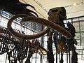 And the mammoth at the Beneski Museum. - panoramio.jpg