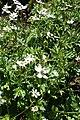 Anemone rivularis kz01.jpg