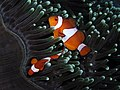 Anemonefish Nick Hobgood.jpg