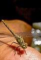 Anisoptera سنجاقک 05 (cropped).jpg