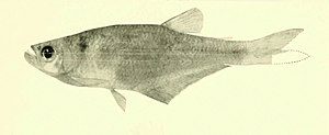 Annals of the Carnegie Museum - Hysteronotus megalostomus.jpg