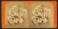 Annuciation lily, from Robert N. Dennis collection of stereoscopic views.png