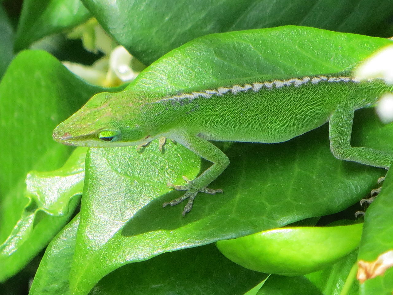 Stripe in green anole