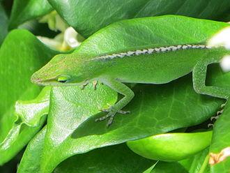 Carolina anole - Anolis carolinensis on Star Jasmine, South Carolina, demonstrating camouflage