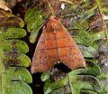 Anomis species. (Hibiscus Leaf Caterpillar Moth - Anomis privata^). Erebidae. Noctuidae - Flickr - gailhampshire.jpg