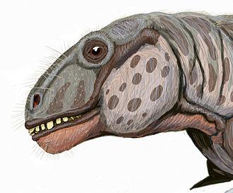 Tapinocephalus Assemblage Zone - Anomocephalus