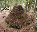 Ant hill in Finland.jpg