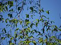 Antiaris toxicaria Lesch. (8364249141).jpg