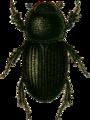 Aphodius scrofa Jacobson.png