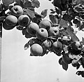 Appelboom in kwekerij de Olmenhorst in Abbenes, Bestanddeelnr 254-5337.jpg