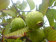 Apple Guava.jpg