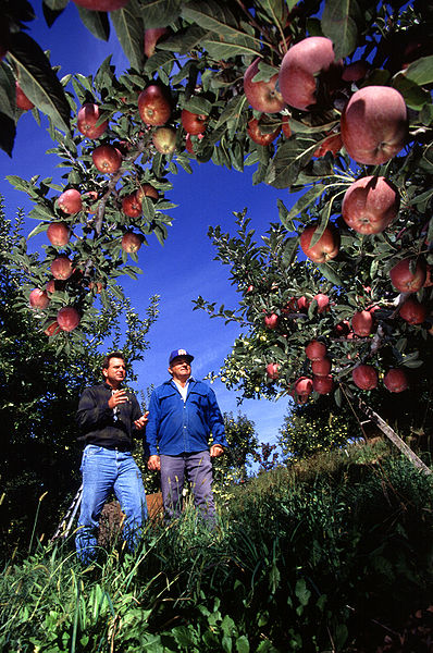 File:Apple orchard.jpg