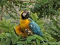 Ara ararauna (Guacamaya azul y amarilla) (14073282393).jpg