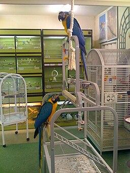 Ara ararauna -pet shop -6a