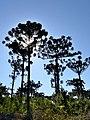 Araucaria Angustifolia - panoramio (1).jpg