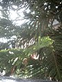 Araucaria columnaris, Coral Reef Araucaria tree at Amravati, Maharashtra, India2.jpg