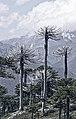 Araucarias en Parque nacional Conguillío 2.jpg