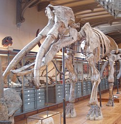 Gomphotherium_angustidens