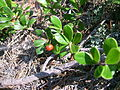 Arctostaphylos uva-ursi, Jones Landing.JPG