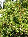 Argania spinosa 2c.JPG