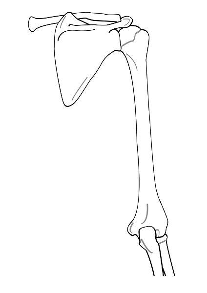 File:Arm posterior.jpg