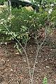 Aronia arbutifolia 3zz.jpg