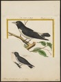 Artamus leucorhynchos - 1700-1880 - Print - Iconographia Zoologica - Special Collections University of Amsterdam - UBA01 IZ16400129.tif