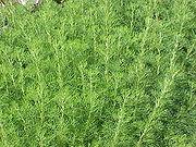 Artemisia abrotanum (Southernwood)