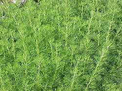 Artemisia abrotanum0.jpg