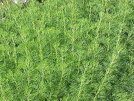 Ambra (Artemisia abrotanum)