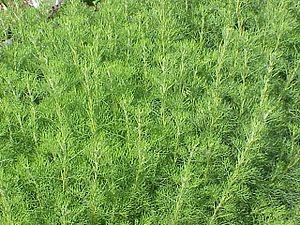 Artemisia (genus) - Artemisia abrotanum
