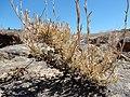 Artemisia arbuscula (28471090621).jpg