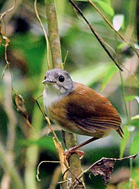 Ashy-headed Babbler (Malacocincla cinereiceps).jpg