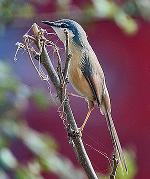 Ashy prinia -  P. s. stewartii with supercilium visible (Haryana, India)