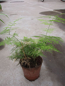 a0d946d0b2 Asparagus setaceus - Wikipedia