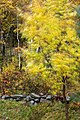 Aspen moving with the autumn winds in Tuntorp, Lysekil.jpg