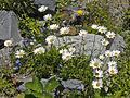 Asteraceae - Leucanthemum heterophyllum.jpg
