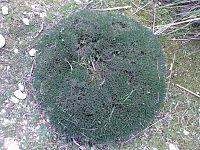 Astragalus Balearicus