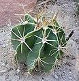 Astrophytum ornatum 1.jpg