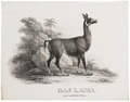 Auchenia lama - 1700-1880 - Print - Iconographia Zoologica - Special Collections University of Amsterdam - UBA01 IZ21600115.tif