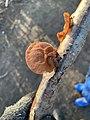 Auricularia auricula-judae 113689882.jpg