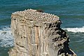 Australian Gannet colony - Muriwai - New Zealand (25288199298).jpg