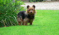 Australian Terrier Melly (2).JPG