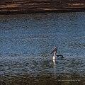 Australian pelican Burke River Boulia Queensland P1030507.jpg