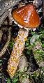 Austroboletus lacunosus (Kuntze) T.W. May & A.E. Wood 856691.jpg