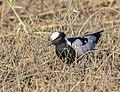 Avefría armada (Vanellus armatus), parque nacional de Chobe, Botsuana, 2018-07-28, DD 70.jpg