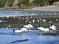 Aves en playa de Chacao, Chiloé.JPG