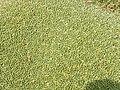Azorella compacta (Llareta) - close up (48338319091).jpg